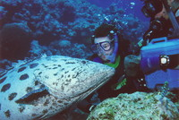 Mark kissing a cod on the Great Barrier Reef