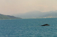 Humpback whales off Cairns