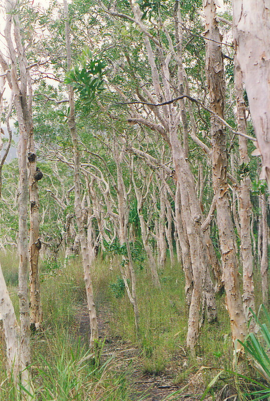 A forest of paperbark gum trees