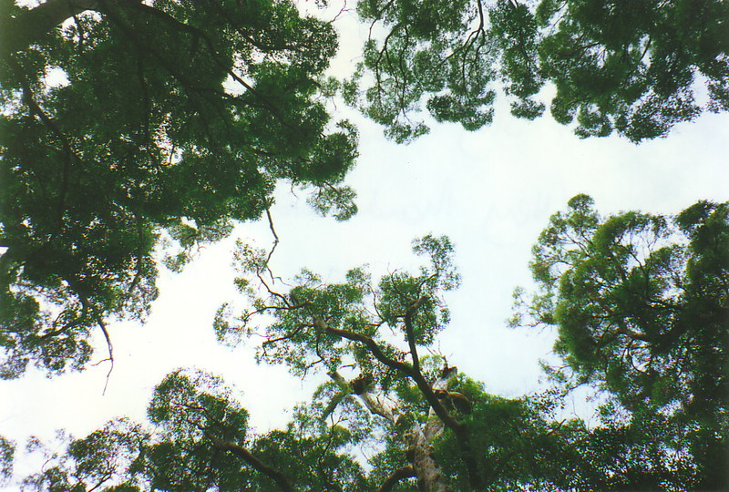 The view up into the canopy of the karri forests