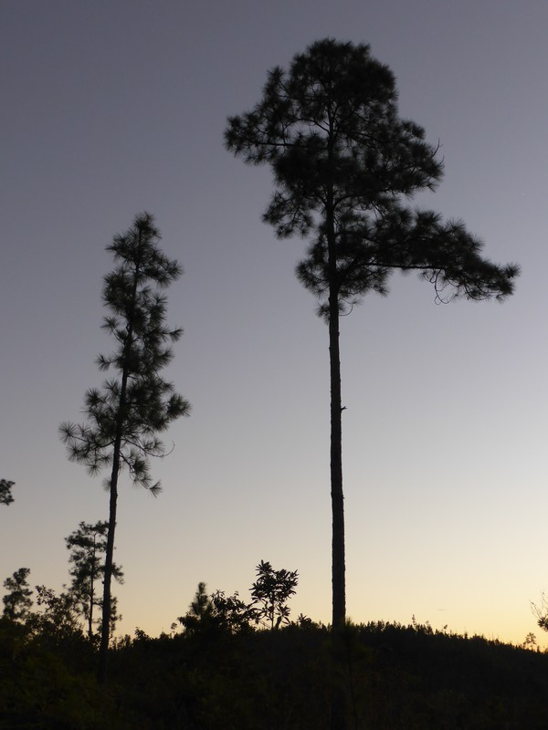 The pines of Mountain Ridge at dusk