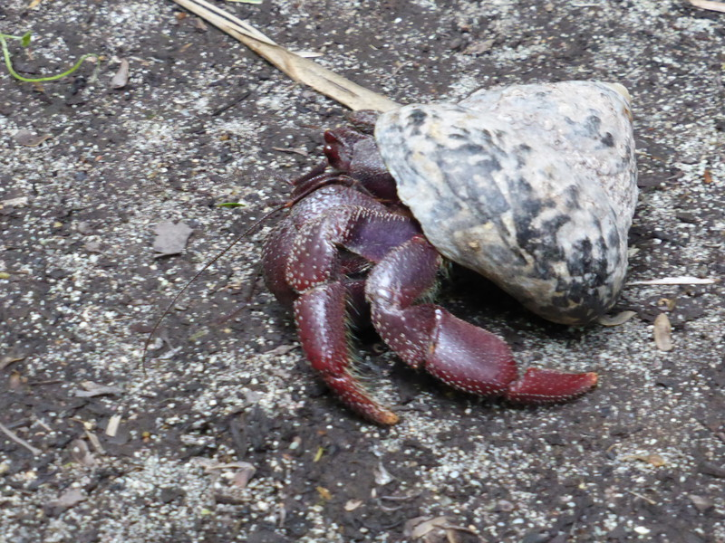 A hermit crab on Half Moon Bay