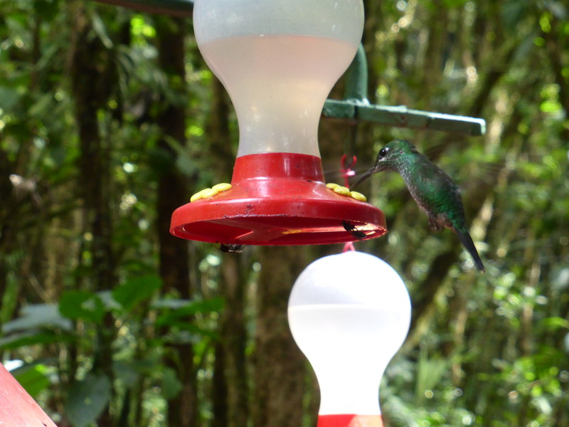The artificial hummingbird feeders at Selvatura Park