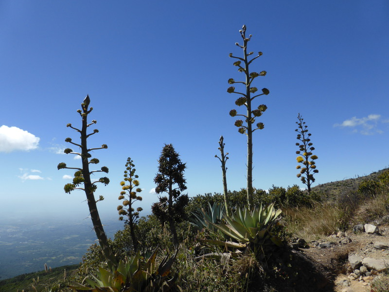 The amazing maguey plants on the flanks of Volcán de Santa Ana