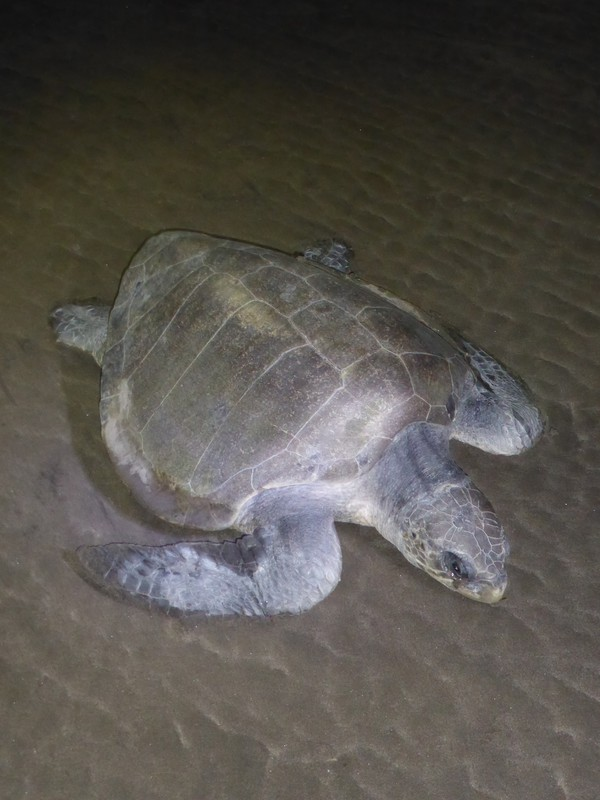 The turtle who visited us one night