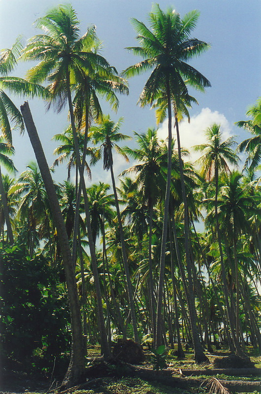 A coconut palm forest