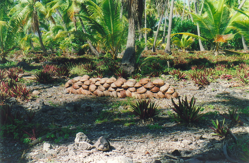 Coconuts drying in the sun, on their way to becoming copra