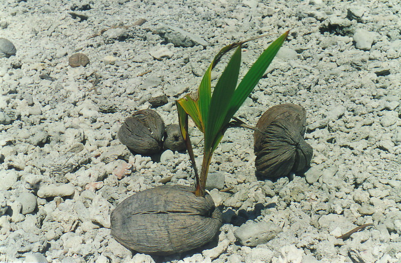 A sprouting coconut