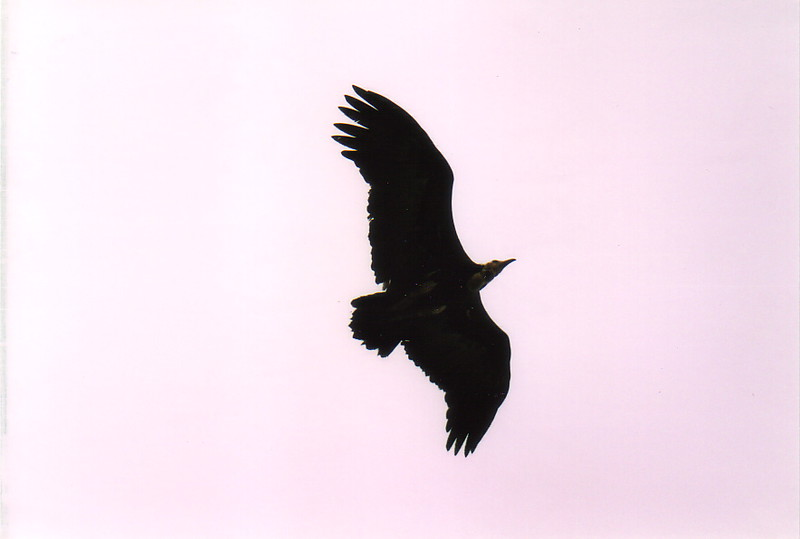 A vulture circling above Fort St Anthony, Axim