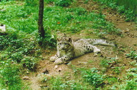 One of the snow leopard cubs in Darjeeling
