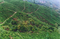 The tea fields of Darjeeling