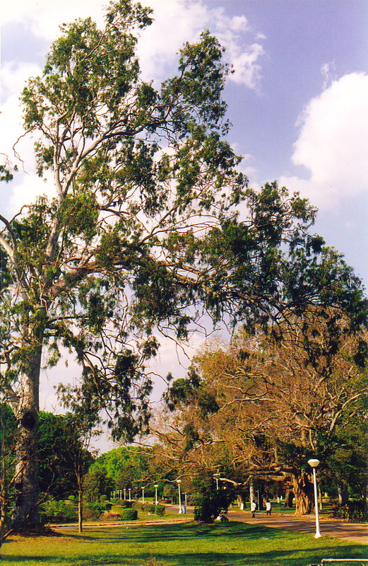 A gum tree in Lalbagh Garden