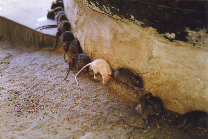 The white rat at the Karni Mata Temple