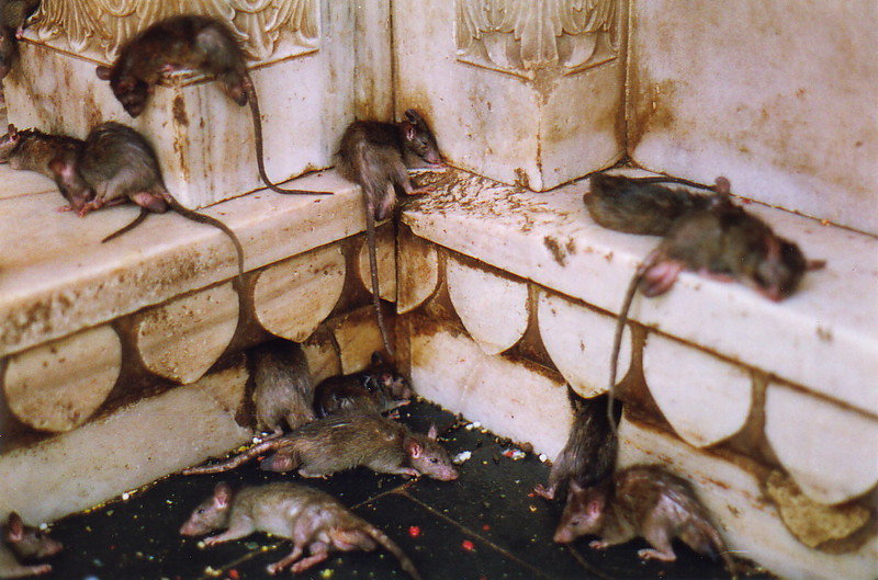 Holy rats resting after a good feed