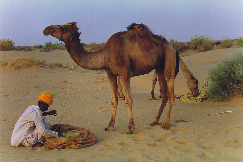 Sagra feeding the camels