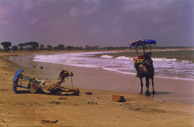 Camels on Nagoa Beach, Diu