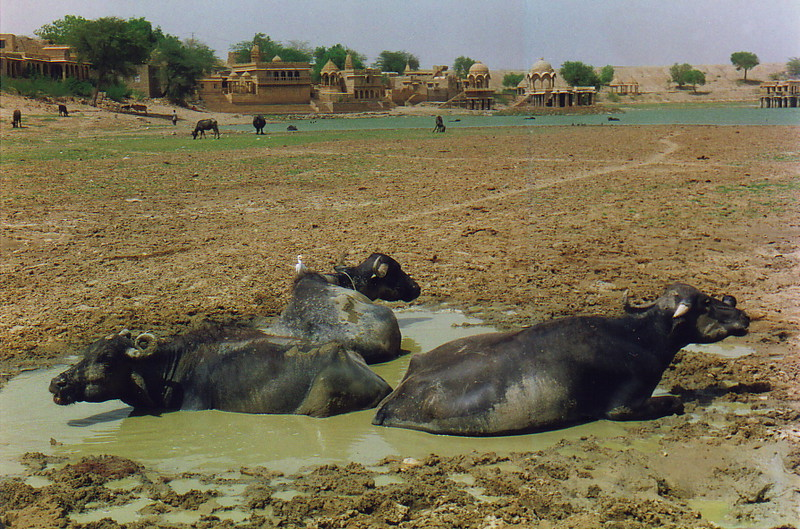 Water buffalo at Gadi Sagar