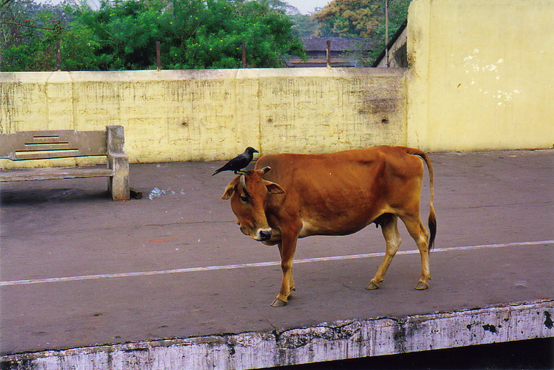 A cow on the platform at Khurda Road train station, Puri