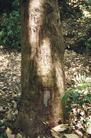 A tree with ancient tiger scratches and more recent elephant foot scrapes