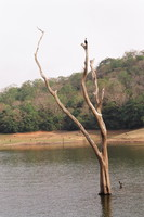Dead trees on Periyar Lake