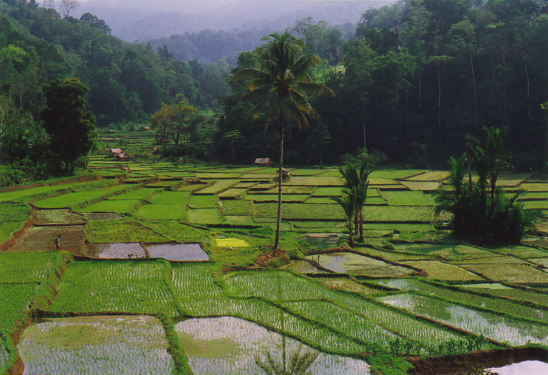 The rice paddies of Bada