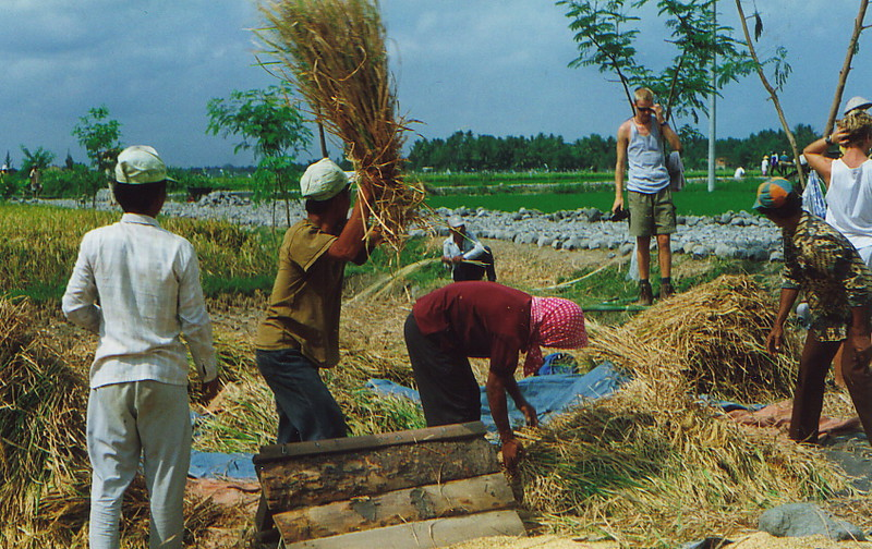 Threshing the rice