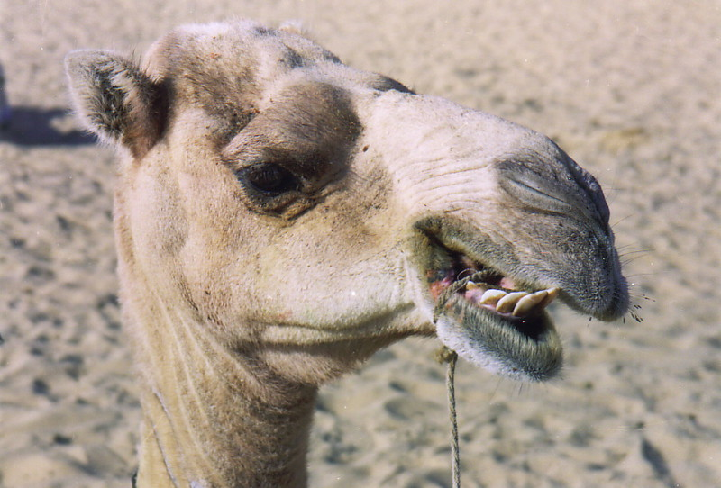Owrah the camel