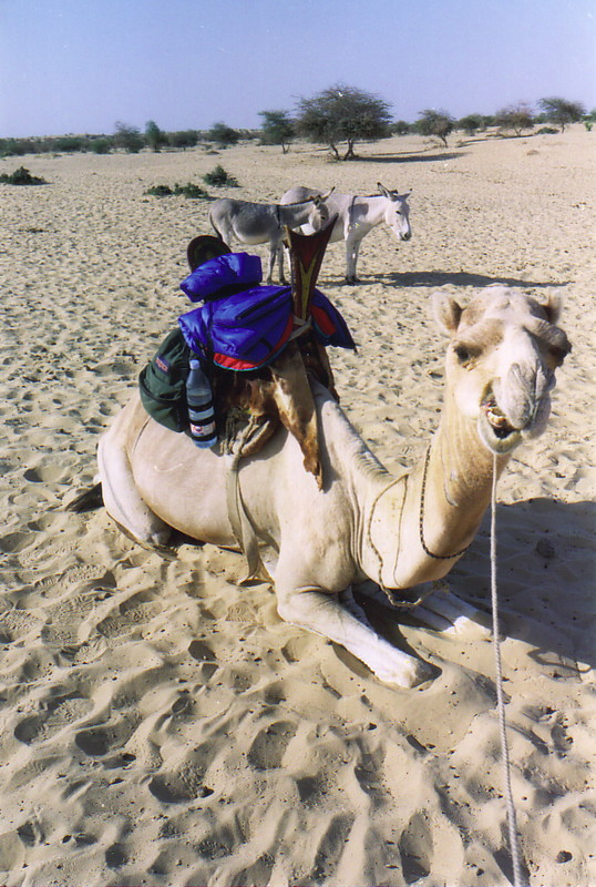 Orwah the camel, showing the seat the Tuareg use