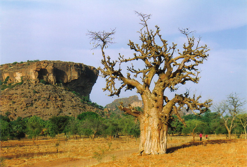 A baobab tree in Dogon Country