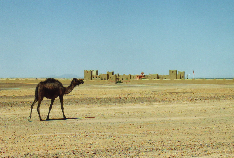A camel and a mud building