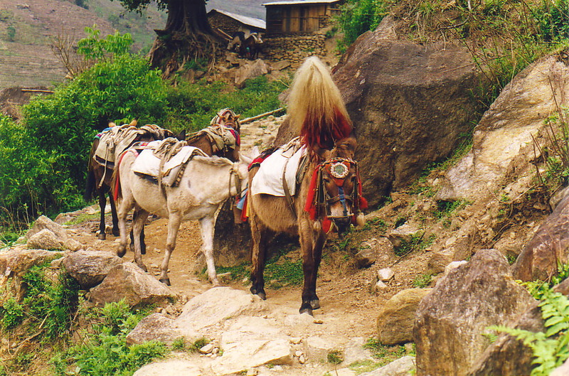 The donkeys of Annapurna