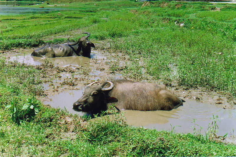 Two water buffalo having a bath