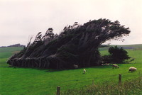 Trees blown into shape by the wind