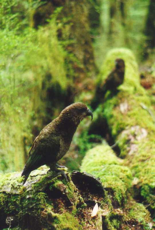 Wild keas in the bush on the Kepler Track