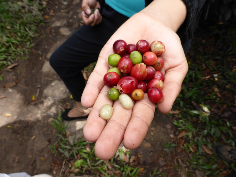 Ripe coffee beans are red, though the green ones can also be used