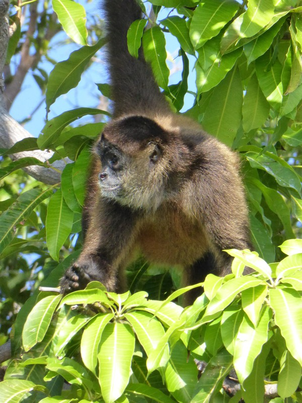 A spider monkey on one of the islands