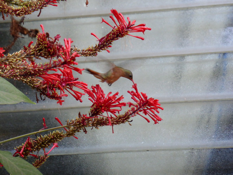 A hummingbird in the garden of La Buena Onda hotel; the hotel also had a friendlt pet rabbit who roamed the grounds