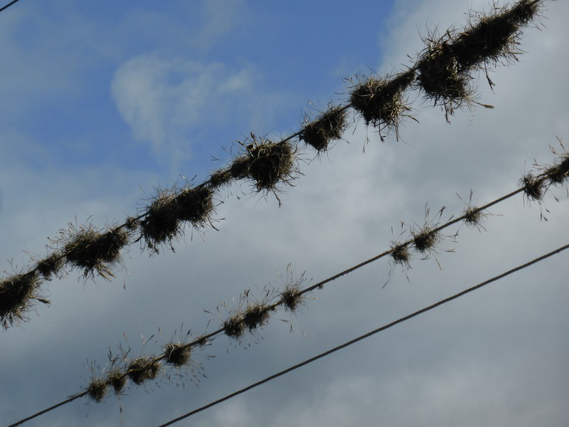 Air plants growing on the telegraph lines in town