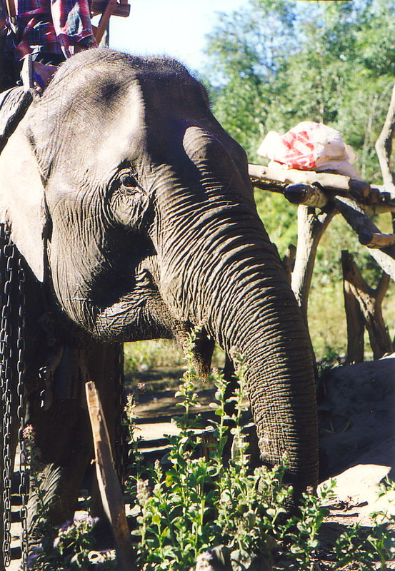 The elephant that took me through the hills of Chiang Mai