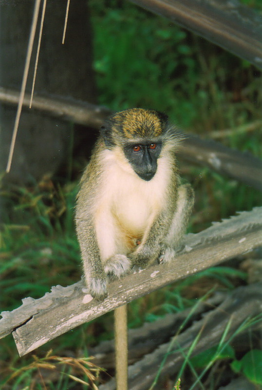 A monkey in Bijilo Forest Park